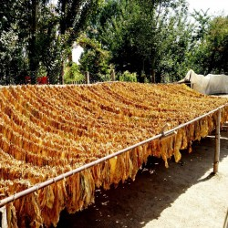 Graines de Tobacco Samsoun Orient 1.75 - 2