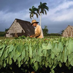 Graines de tabac Adonis 2.45 - 1