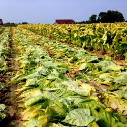 Semillas de tabaco MARYLAND 1.95 - 1