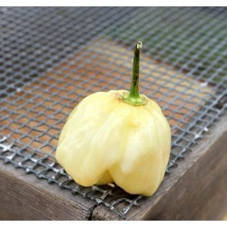 Graines de Piments Giant White Habanero 1.95 - 6