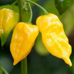 Habanero Hot Lemon Samen - super aromatisch 1.95 - 3
