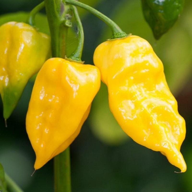 Semi di Peperoncino Habanero Hot Lemon 1.95 - 3