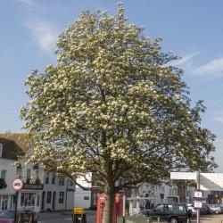 Swedish Whitebeam Seeds Bonsai (Sorbus intermedia) 2.25 - 1