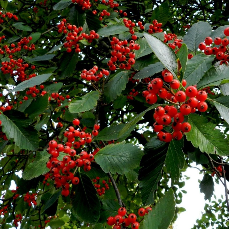 Graines Sorbus intermedia, aussi appelé Alisier de Suède 2.25 - 3