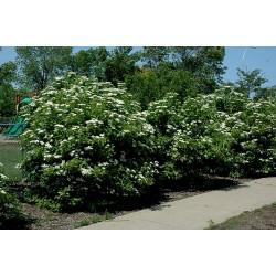 American Highbush Cranberry Seeds Viburnum trilobum Shrub 1.95 - 4