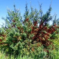 Semillas Russet Buffaloberry 2.75 - 2