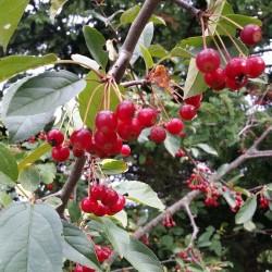 Graines Malus sargentii arbre fruits comestibles 1.95 - 3