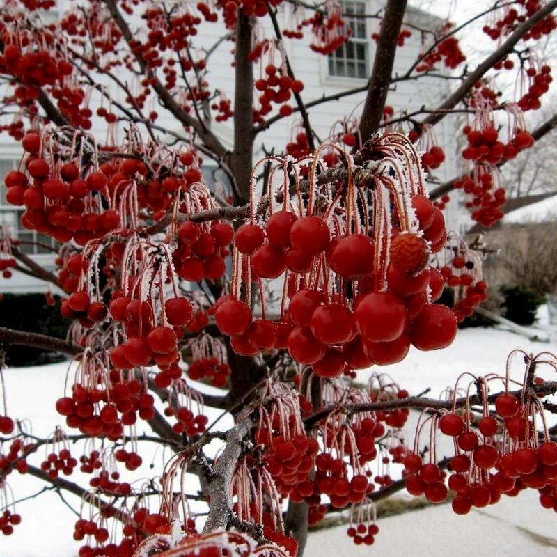 Japanska Jabuka seme bonsai (Malus sargentii) 1.95 - 1