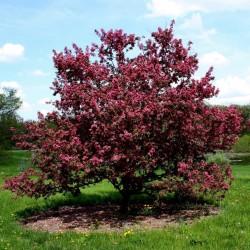 Japanska Jabuka seme bonsai (Malus sargentii) 1.95 - 2