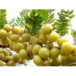 Frön Phyllanthus Emblica indiska Krusbär Amla 1.55 - 4