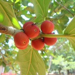 Bengalische Feige Samen 1.5 - 2