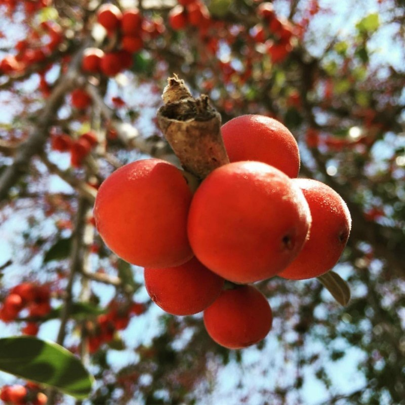 Σπόροι Ficus benghalensis δέντρο 1.5 - 7