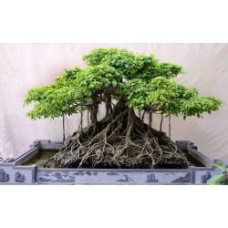 Σπόροι Ficus benghalensis δέντρο 1.5 - 3