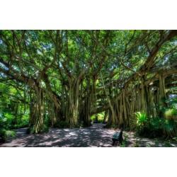 Banjan (träd) Frön 1.5 - 4