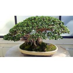 Bengalska Sljiva Seme 1.5 - 5