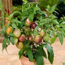 Birnenmelone Pepino Samen (Solanum muricatum) 2.55 - 2