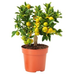Graines de Calamondin(Citrofortunella microcarpa) 2.65 - 5