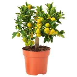 Kalamondin Mini Pomorandza Seme (Citrofortunella microcarpa) 2.65 - 5