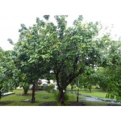 Kattöga Dimocarpus longan Frön 3.5 - 3