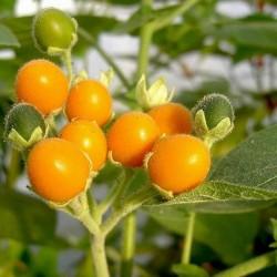 Semi di Cyphomandra abutiloides 2.05 - 5