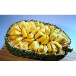 Semi Di Giaca, Catala, Jackfruit (Artocarpus heterophyllus) 5 - 6