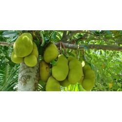 Graines Jacquier, ou Jaquier (Artocarpus heterophyllus) 5 - 8