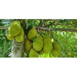 Σπόροι Jackfruit δέντρο Αρτόκαρποι (Artocarpus heterophyllus) 5 - 8