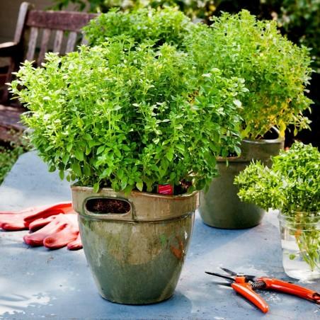 Bush or Greek Basil Seeds