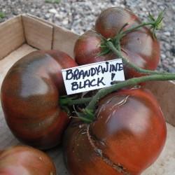Graines Tomate ancienne noire BRANDYWINE BLACK 1.85 - 1