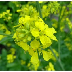 Sementes de Mostarda-Preta (Brassica nigra) 1.45 - 2