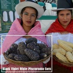 """Semillas de maíz peruano Negro violeta blanco """"K'uyu Chuspi"""" 2.45 - 1"""