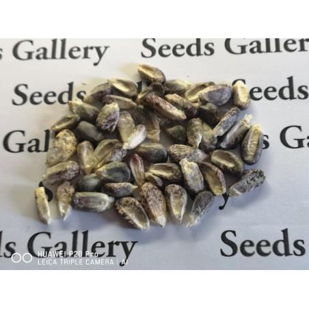 "Peruvian Black Violet White ""K'uyu Chuspi"" Corn Seeds 2.45 - 3"