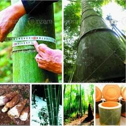 Semillas de Bambu Gigante