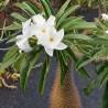 Graines de palmier de Madagascar (Pachypodium lamerei)