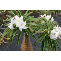 Pachypodium lamerei Samen - Madagascar Palm 1.95 - 3