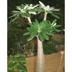 "Semi Di Palma ""Pachypodium Lamerei - Madagascar Palme"" 1.95 - 4"
