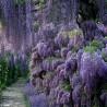 Семена Глици́ния, висте́рия (Wistéria)