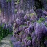 Wisteria Seeds (Wisteria sinensis)