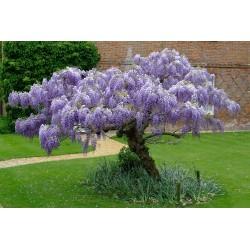 Wisteria Seeds (Wisteria sinensis) 1.85 - 5