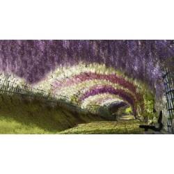 Wisteria - Visterija Seme (Wisteria sinensis) 1.85 - 14
