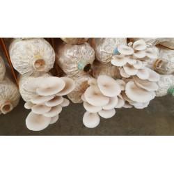 White Oyster Mushroom Mycelium Spores Seeds (Pleurotus cornucopiae) 3 - 8