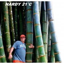 Riesenbambus Samen  winterhart -25°C