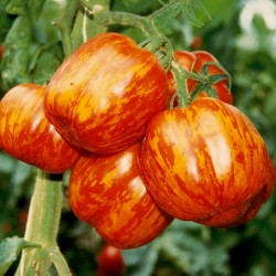 STRIPED STUFFER Tomatensamen 1.65 - 5