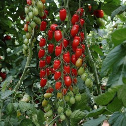 Mini San Marzano Gelb und rot Tomatensamen 1.95 - 2