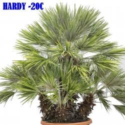 Mediteranska lepezasta palma, Evropska palma Seme (Chamaerops humilis)  3 - 3