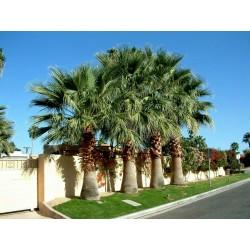 California Fan Palm Seeds (Washingtonia filifera) 1.75 - 3