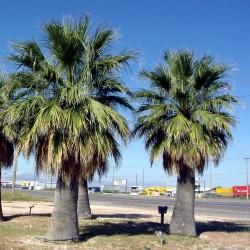 Solfjäderspalm Frön (Washingtonia filifera) 1.75 - 2