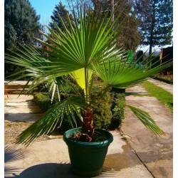 Kalifornijska lepezasta palma Seme (Washingtonia filifera) 1.75 - 4