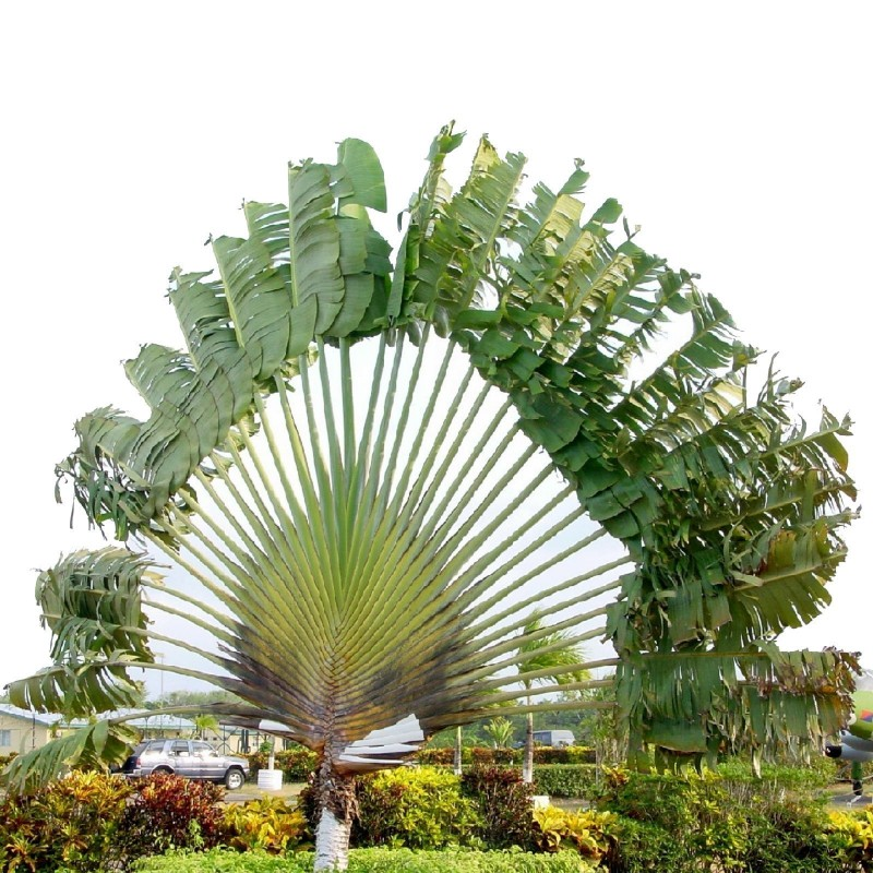 Travellers Palm Seeds 1.75 - 5