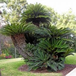 Japanische Palmfarn Samen (Cycas revoluta) 1.75 - 1